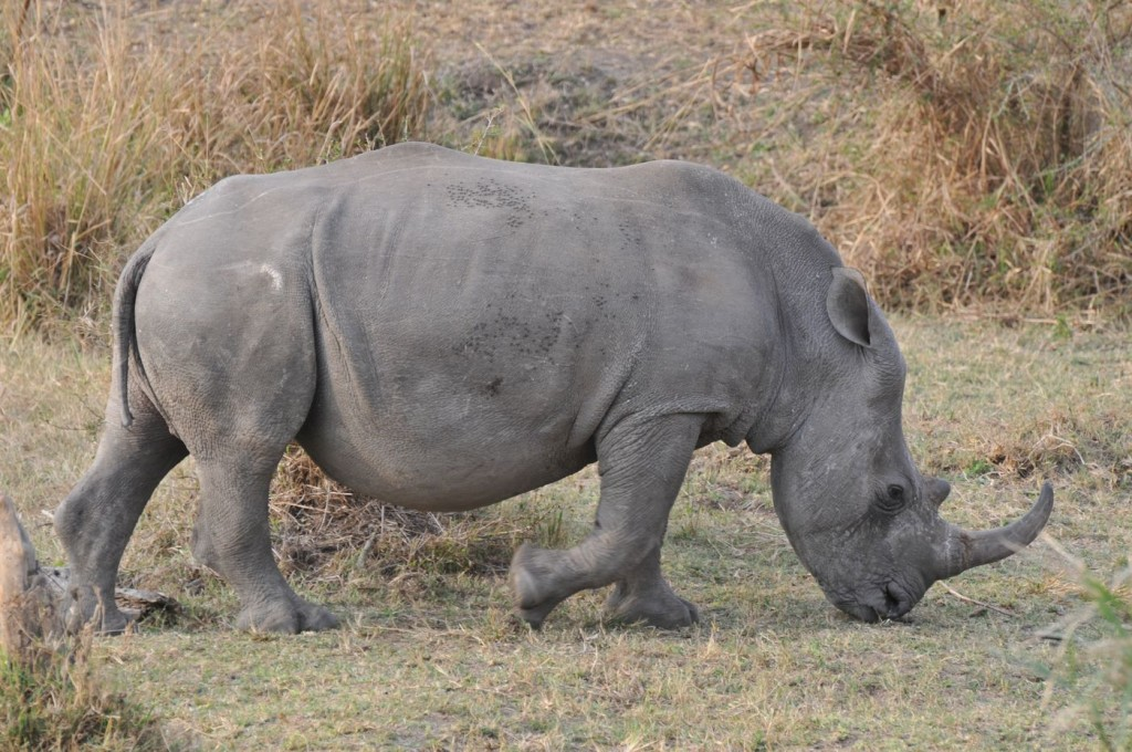 Rhinocéros au parc Krüger (2013)
