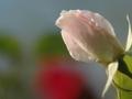 roseSCR